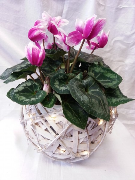 Pots of cyclamen